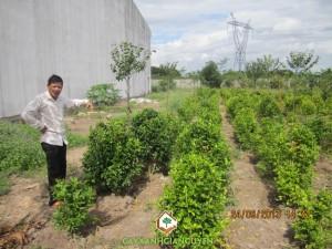 cây giống Gia Nguyễn, Nguyễn Công Quang, cây cảnh, cây giống lâm nghiệp, cây công trình