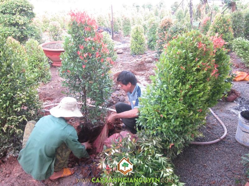 Cây Xanh Gia Nguyễn, cây xanh, vườn ươm, cao su, cây lớn, cây cảnh