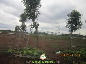 Cây Xanh Gia Nguyễn, cây công trình, cây lâm nghiệp, Bình Phước, cây xanh, osaka vàng