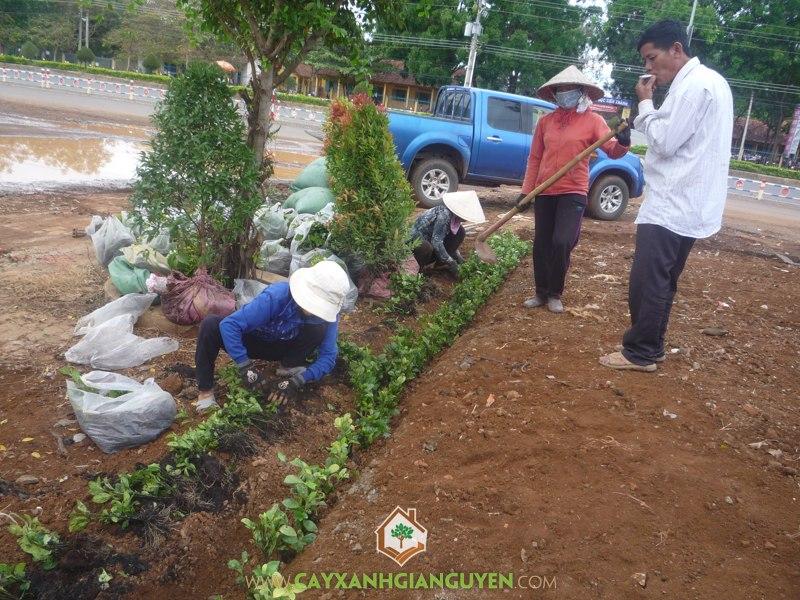 Cây Xanh Gia Nguyễn, KCN Đồng Xoài 2, Cây công trình, Cây giống lâm nghiệp, Khu Công Nghiệp