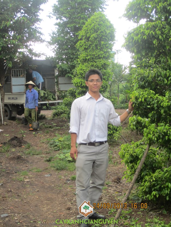 cây xanh gia nguyễn, cây công trình, cây giống lâm nghiệp,bông giấy