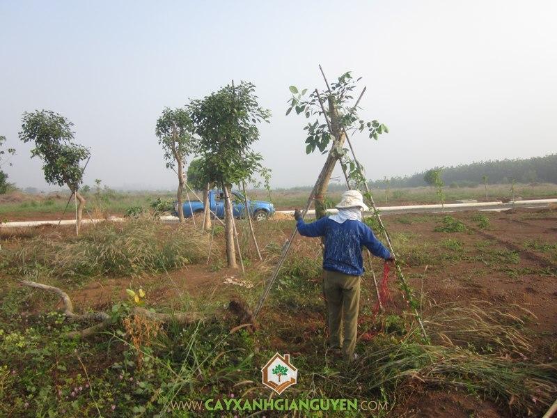 cây osaka, Cây Xanh Gia Nguyễn, KDC Bắc Đồng Phú, Đồng Xoài, Cây công trình