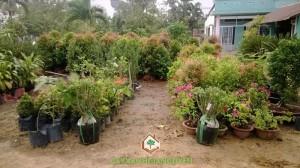 Cây Xanh Gia Nguyễn , cây giống lâm nghiệp, cây công trình, cây cảnh,Marketing,