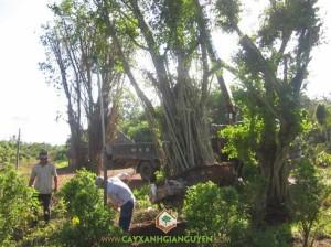 Cây Xanh Gia Nguyễn, cây công trình, cây sanh, Đồng Xoài, KCN Đồng Xoài