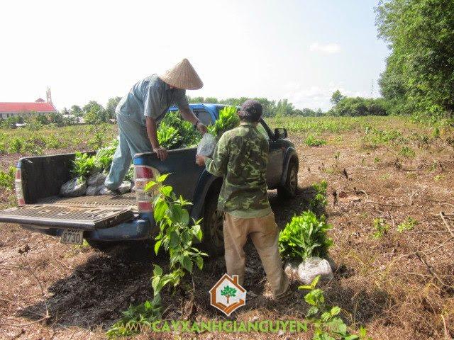 Cây Xanh Gia Nguyễn, trồng cây, cây xanh, cây công trình, Nguyễn Công Quang