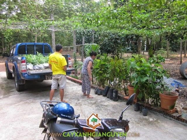 Cây Xanh Gia Nguyễn cung cấp Cây Dầu Rái và Sầu Riêng tận nơi Gia Chủ