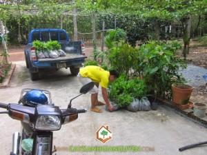 Cây Xanh Gia Nguyễn cung cấp cây Keo Lai tận nơi Gia Chủ