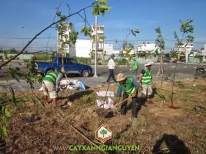 Tiến hành trồng cây Sao Đen