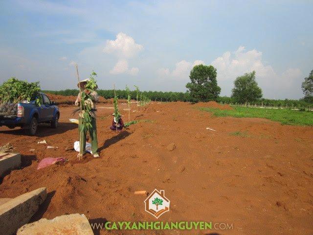 Cây Xanh Gia Nguyễn, cây bằng lăng, cây công trình, cây xanh, trồng cây tại KCN Bắc Đồng Phú