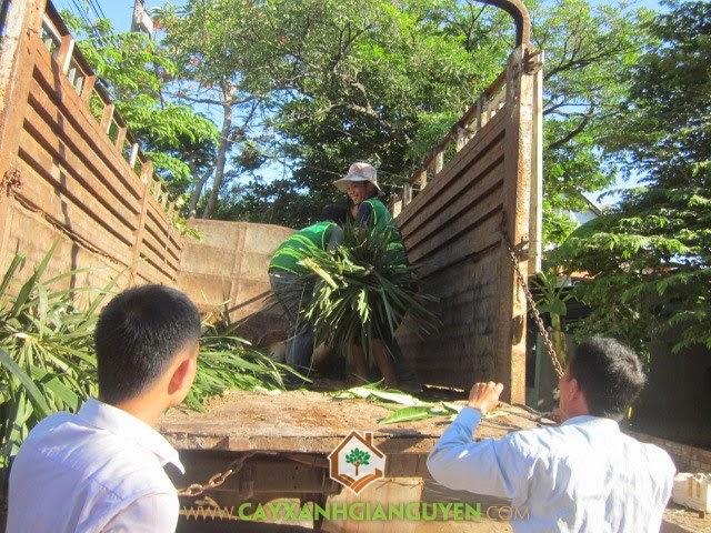 Vận chuyển cây cau trồng tại biệt thự Hồ Chí Minh