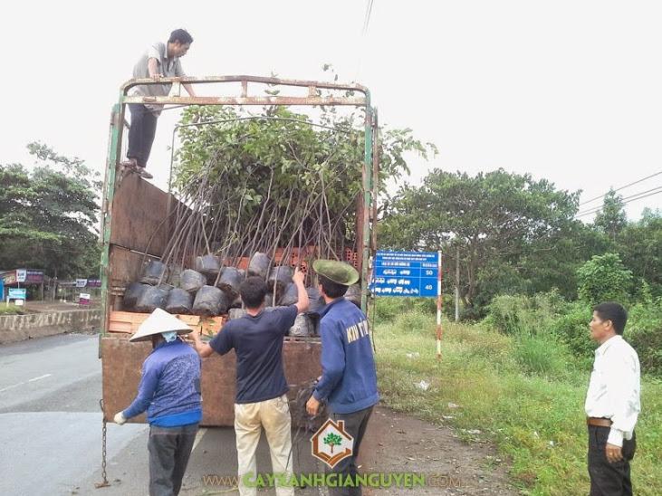 Cây Xanh Gia Nguyễn cun g cấp cây Sao Đỏ cho khách hàng.