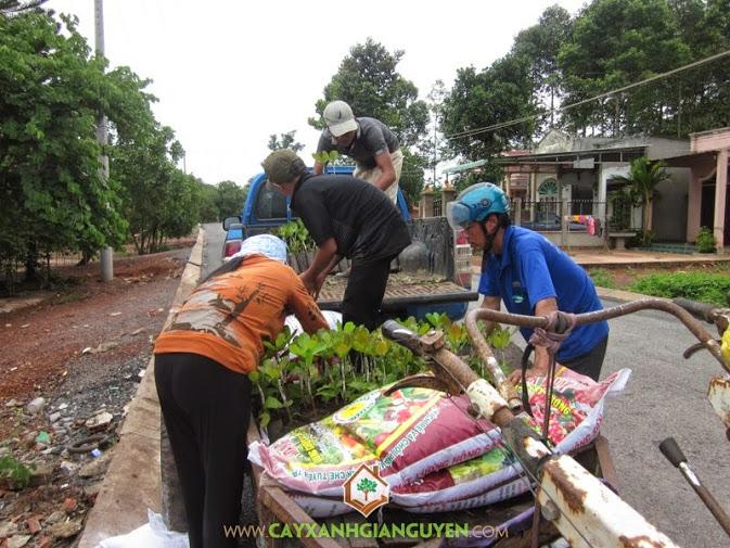 Cây Xanh Gia Nguyễn cung cấp cây Điều giống ở Bình Phước.