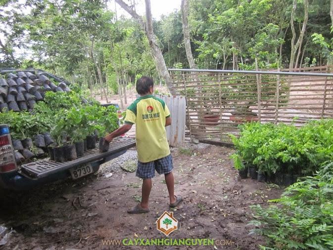 Cây Xanh Gia Nguyễn cung cấp cây Sưa Đỏ.