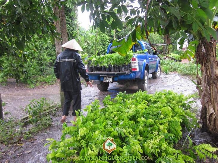 Cây Xanh Gia Nguyễn cung cấp cây Sưa Đỏ cho khách hàng ở Bình Dương.