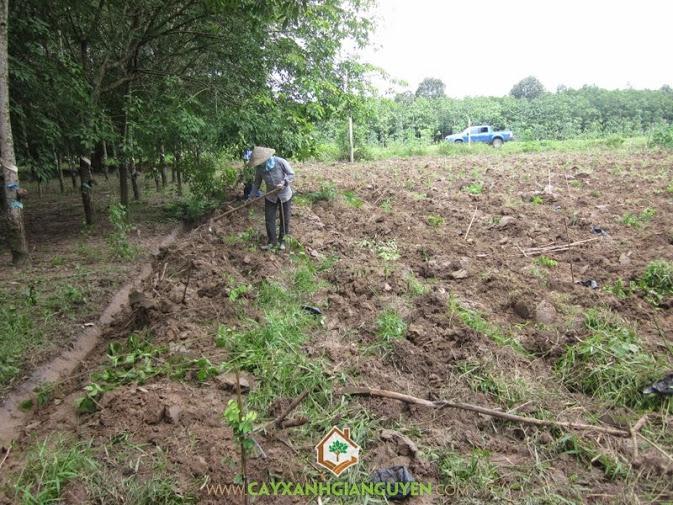 Cây Xanh Gia Nguyễn trồng cây Cẩm Lai cho khách hàng.