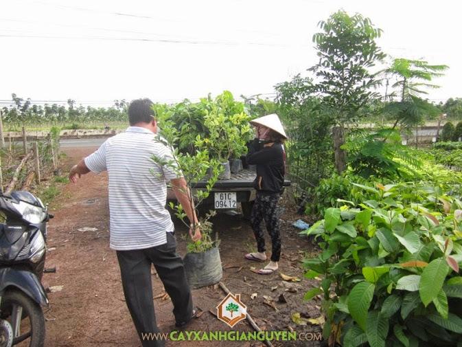 Cây Xanh Gia Nguyễn cung cấp cây Dầu Rái cho khách hàng.