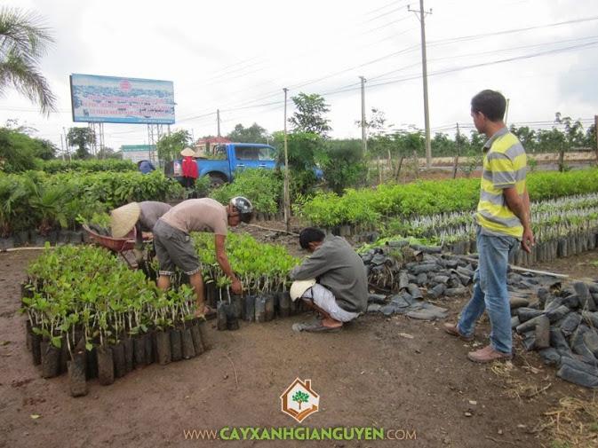 Cây Xanh Gia Nguyễn cung cấp cây Điều giống cho khách hàng.