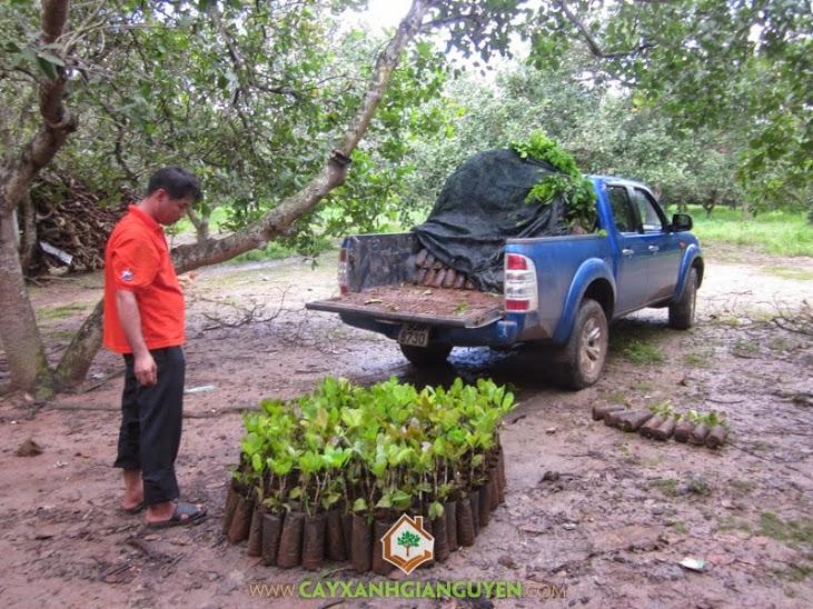 Cây Xanh Gia Nguyễn cung cấp cây Điều cho khách hàng.