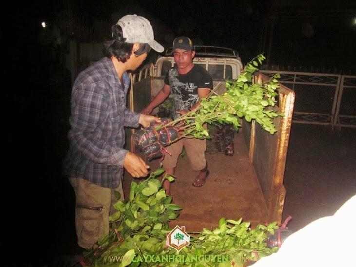 Cung cấp cây Chanh Giấy cho khách hàng.