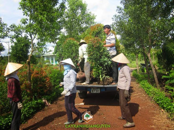 Cung cấp cây Hồng Lộc cho khách hàng.