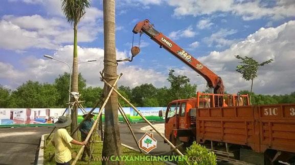 cây xanh Gia Nguyễn, cây công trình, cây cau vua, cây giống, vườn ươm cây xanh Gia Nguyễn, trồng cây cau vua