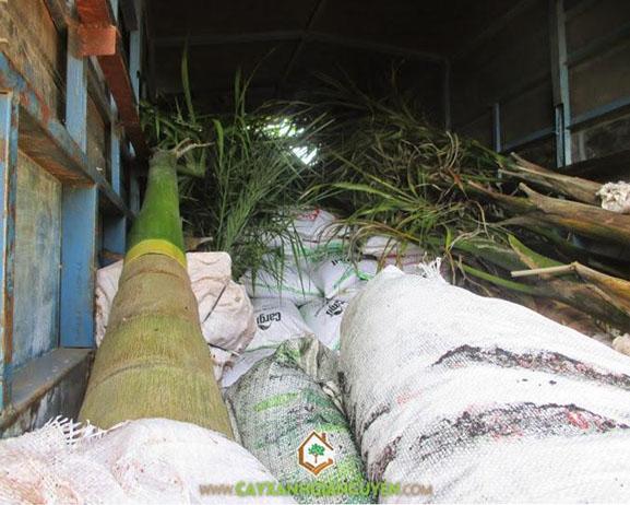 cây xanh Gia Nguyễn, cây hồng lộc, cây cau vua, cây công trình, cung cấp các loại cây công trình, vườn ươm cây xanh Gia Nguyễn