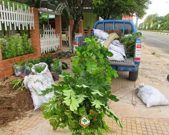 cây xanh Gia Nguyễn, cây công trình, cây giống, cây chuối mỏ két, cây cẩm tú mai, vườn ươm cây xanh Gia Nguyễn