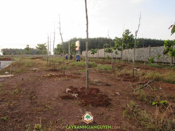 cây xanh Gia Nguyễn, cây giống lâm nghiệp, cây lâm nghiệp, cây dầu rái, cây giống, cung cấp cây giống, vườn ươm cây xanh Gia Nguyễn