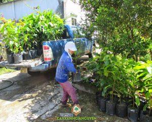 cây xanh Gia Nguyễn, cung cấp cây giống lâm nghiệp, cây lâm nghiệp, cây giống, cây dầu rái, vườn ươm cây xanh Gia Nguyễn, công ty cây xanh Gia Nguyễn
