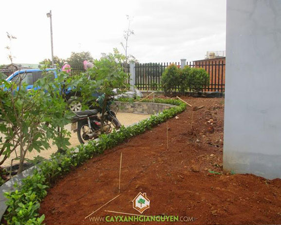 Cây xanh Gia Nguyễn, cây hồng lộc, cây mai Hà Lan, cây công trình, vườn ươm cây xanh Gia Nguyễn, trồng cây công trình