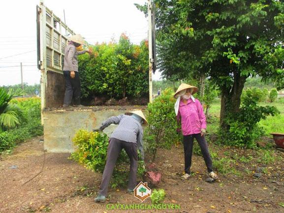 cây xanh Gia Nguyễn , cây hồng lộc, cây công trình, cây giống, vườn ươm cây xanh Gia Nguyễn, công ty cây xanh Gia Nguyễn