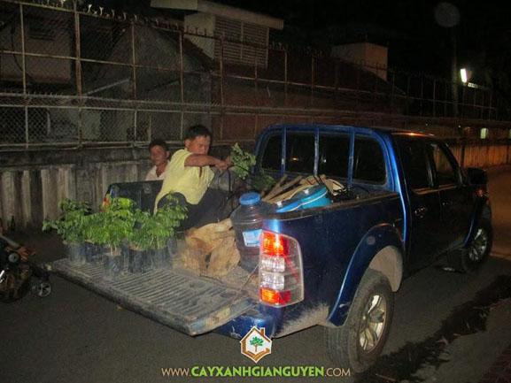cây xanh Gia Nguyễn, cây giống, cây giống lâm nghiệp, cây sưa đỏ, vườn ươm cây xanh Gia Nguyễn, cung cấp cây giống