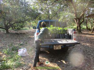 Cây Xanh Gia Nguyễn, cây điều, cây điều giống, cung cấp cây giống, cây giống lâm nghiệp, vườn ươm cây xanh Gia Nguyễn