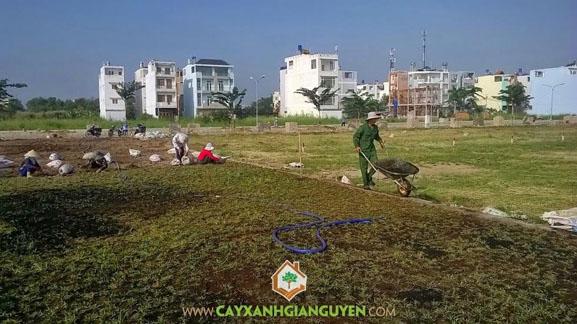 cây xanh Gia Nguyễn, cung cấp cây giống, cây cỏ lá gừng, cây giống, vườn ươm cây xanh Gia Nguyễn, cây công trình