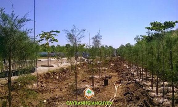 cây xanh Gia Nguyễn, cây dương, cây công trình, cây giống, cung cấp cây giống, vườn ươm cây xanh Gia Nguyễn