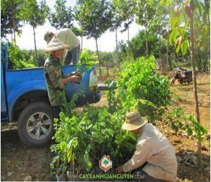 cây giống lâm nghiệp, cây xanh Gia Nguyễn, cung cấp cây giống, cây giáng hương, cây gỗ trắc, cây sưa đỏ, vườn ươm cây xanh Gia Nguyễn