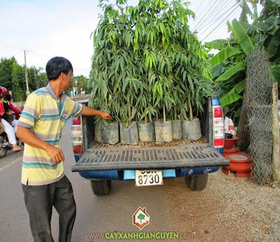 cây xanh Gia Nguyễn, cây hoàng nam, cây hồng lộc, cây công trình, vườn ươm cây xanh Gia Nguyễn, cung cấp cây hoàng nam