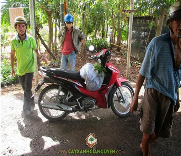 cây xanh Gia Nguyễn, cây sưa đỏ, cây giống lâm nghiệp, cây lâm nghiệp, vườn ươm cây xanh Gia Nguyễn, công ty cây xanh Gia Nguyễn