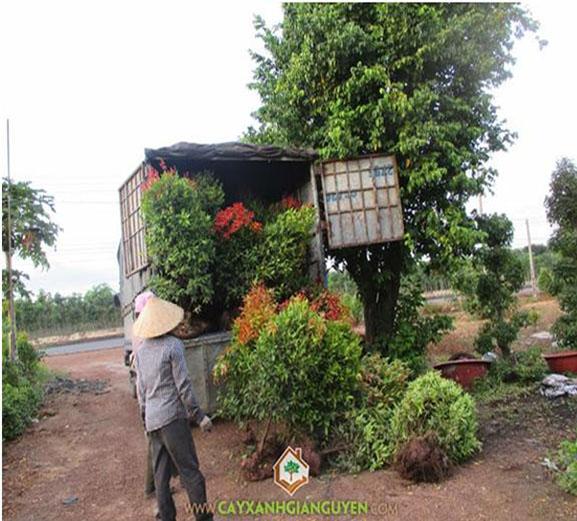 cây xanh Gia Nguyễn, cây hồng lộc, khu công nghiệp, khu đô thị, cây công trình