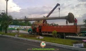 cây xanh Gia Nguyễn, công ty cây xanh Gia Nguyễn, công ty Đại Phúc, cây xanh, cung cấp cây xanh