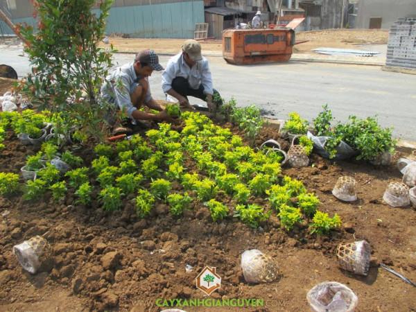 cây xanh gia nguyễn, cây công trình, cỏ thảm, cây  Ắc Ó, Cô Tông, Chuỗi Ngọc Vàng, Cỏ Đậu Phộng
