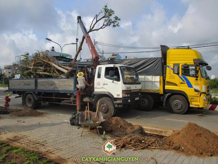 Cây xanh Gia Nguyễn, cây lộc vừng, khu dân cư Dương Hồng, công ty cây xanh Gia Nguyễn, lộc vừng