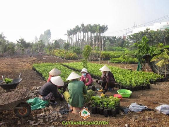 cây giống, cây xanh Gia Nguyễn, cây giống lâm nghiệp, Công ty cây xanh Gia Nguyễn, cung cấp cây giống lâm nghiệp