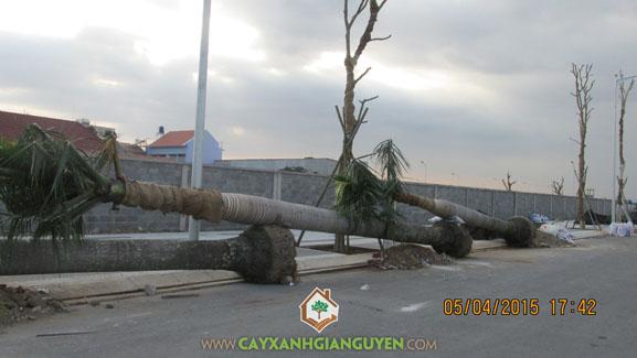 Công ty cây xanh Gia Nguyễn, cây cau vua pháp, cau vua pháp, cây xanh Gia Nguyễn, khu dân cư Bình Lợi