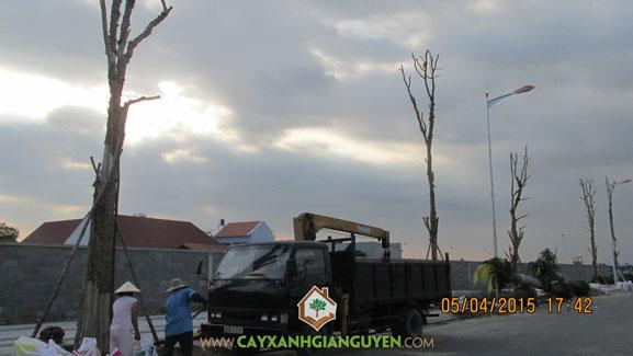 Cây xanh Gia Nguyễn, khu dân cư Bình Lợi, Công ty cây xanh Gia Nguyễn, công ty Đại Phúc, công ty xây dựng nhà Đại Phúc