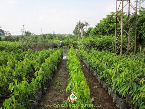 Mùa trồng cây, cây xanh Gia Nguyễn, cây giống, cung cấp cây giống, cây giống trong vườn