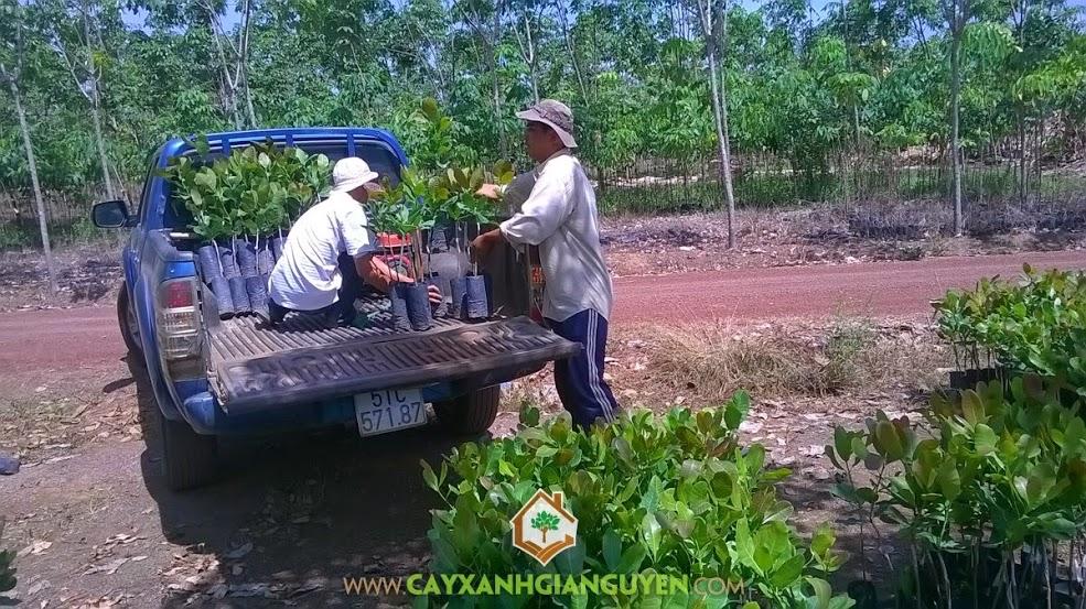 Cây Xanh Gia Nguyễn bốc cây giống  lên  xe