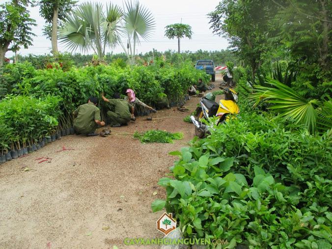 Cây Xanh Gia Nguyễn, Cây sưa đỏ, cây sua, cay giong lam nghiep, cay giong