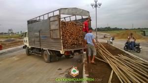 Cây chống, cây xanh Gia Nguyễn, cây công trình, cung cấp cây giống, chăm sóc cây giống