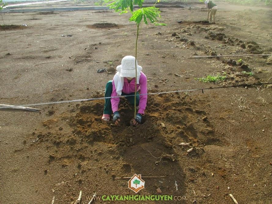 Cây Xanh Gia Nguyễn, Khu công nghiệp Bắc Đồng Phú, cây phượng vĩ, cây giống lâm nghiệp